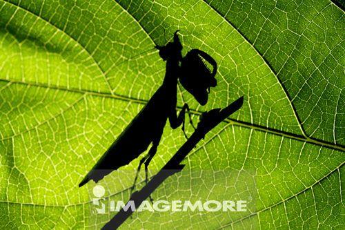 巨角拳螳螂,螳螂,昆虫