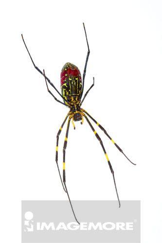 横带人面蜘蛛,蜘蛛,节肢动物