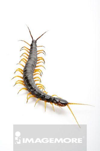 蜈蚣,节肢动物
