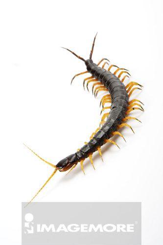 少棘蜈蚣,蜈蚣,节肢动物