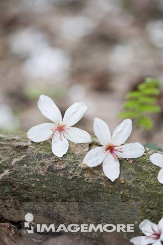 油桐花,苗栗,台湾