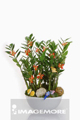金钱树,植物