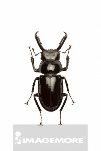 甲虫,昆虫,鞘翅目