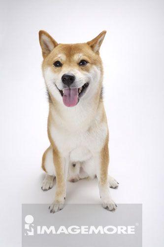 柴犬,狗,动物主题,饲养动物,一只动物,宠物,无人,棚内拍摄,白背景