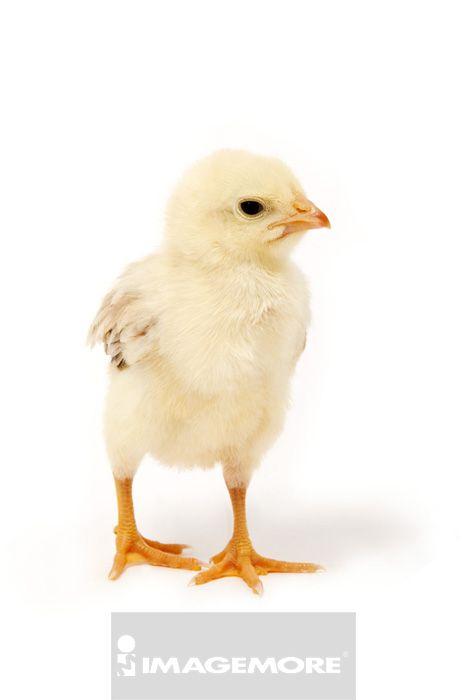 9v00074,9v00074010,火鸡,动物,室内,棚