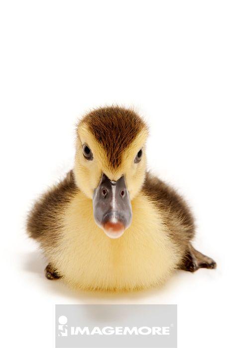 很可爱的小鸭图片