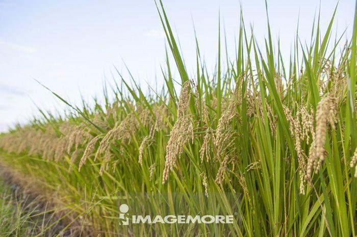 稻米,稻田,稻穗,宜兰,台湾,亚洲,