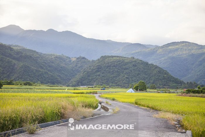稻米,稻田,宜兰,台湾,亚洲,