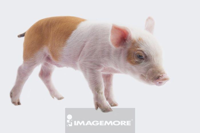 驯养,无人,室内,棚内拍摄,白背景,横图,一只动物,特写,整只,可爱,aim
