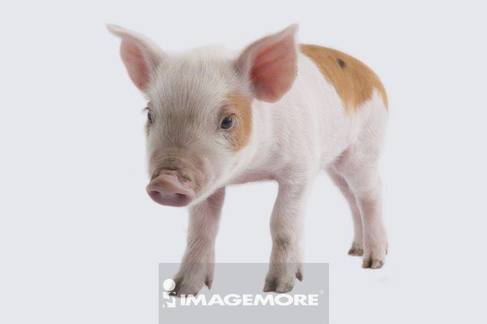 驯养,无人,室内,棚内拍摄,白背景,横图,一只动物,特写,整只,直图,可爱