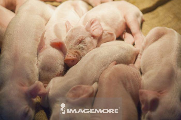 一群可爱猪的照片