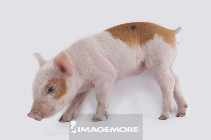 豢养动物,驯养,无人,室内,棚内拍摄,白背景,横图,一只动物,可爱,aim