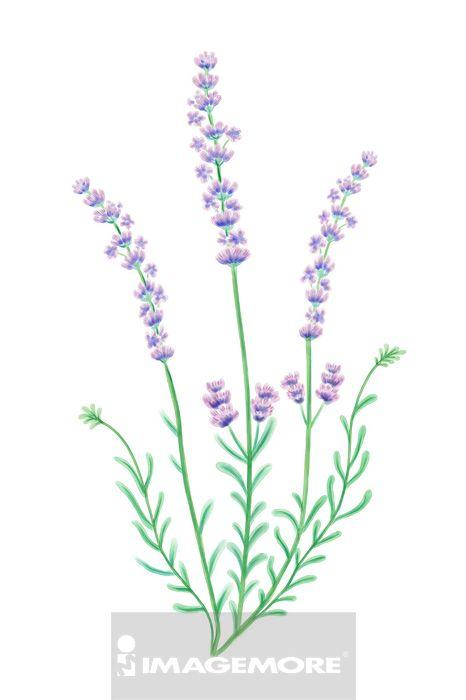 薰衣草,花卉,
