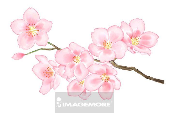 樱花,花卉,