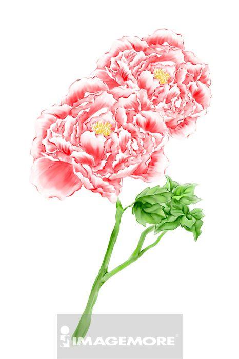 牡丹,花卉,