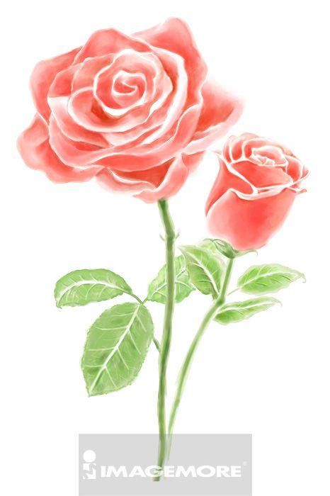 玫瑰,花卉,