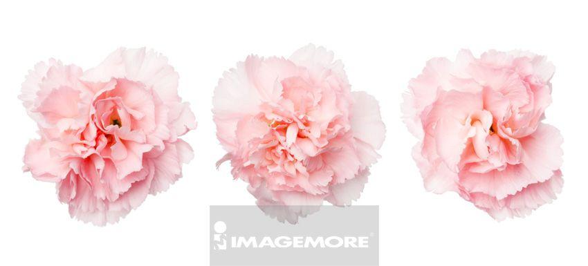 康乃馨,花,母亲节,