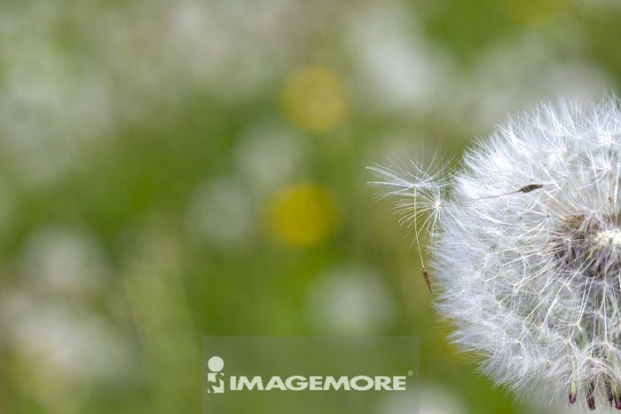 蒲公英,花卉,白天,