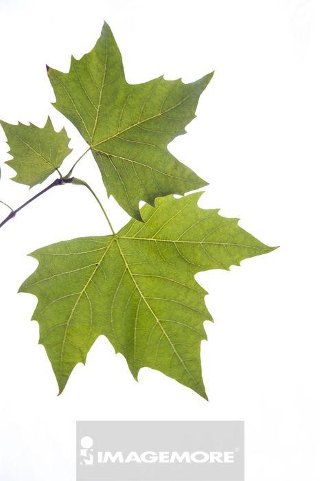 叶子,梧桐树