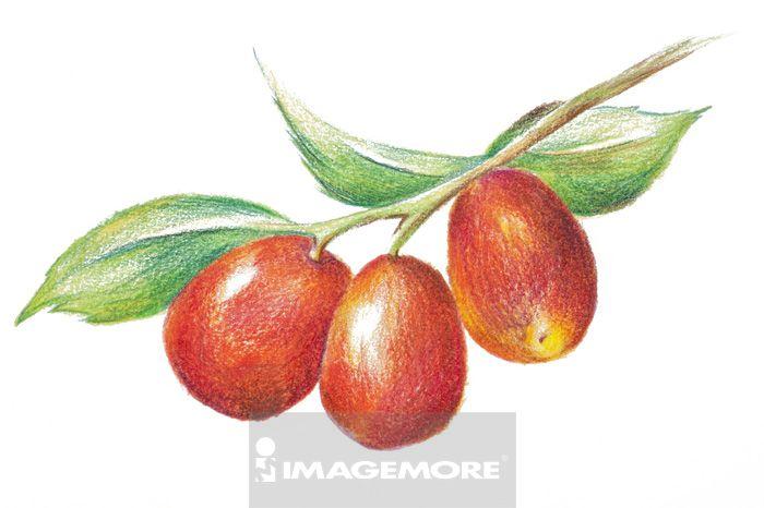 红枣,中药,插画