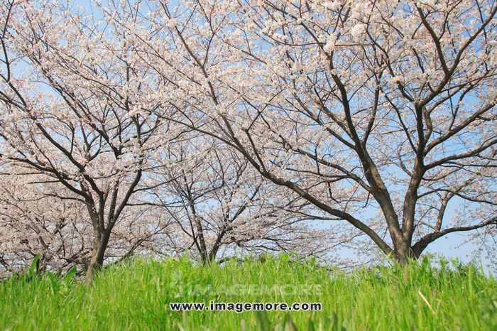Cherry trees in blossom,