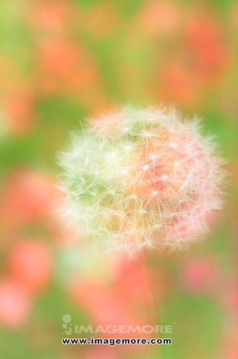 Fluff of Dandelion close up, Shiga Prefecture,