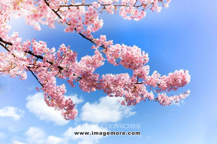 Cherry blossoms and sky,