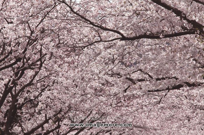 Cherry blossoms,