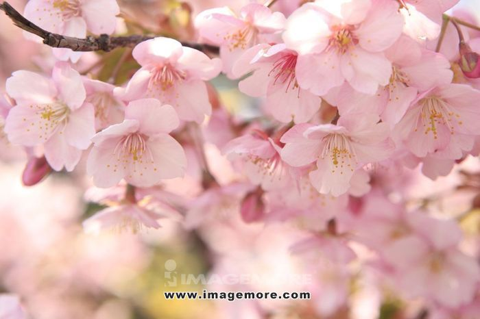 Cherry blossoms,