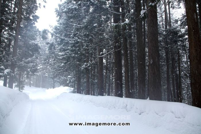 Snowy forest,