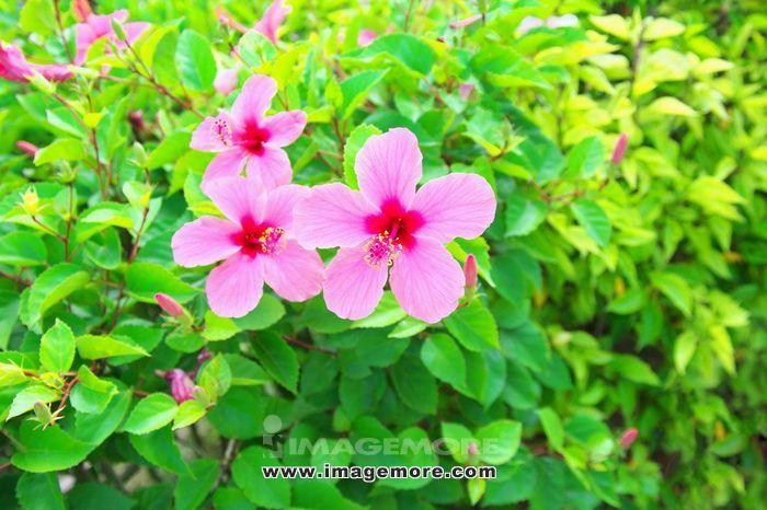 Hibiscus,