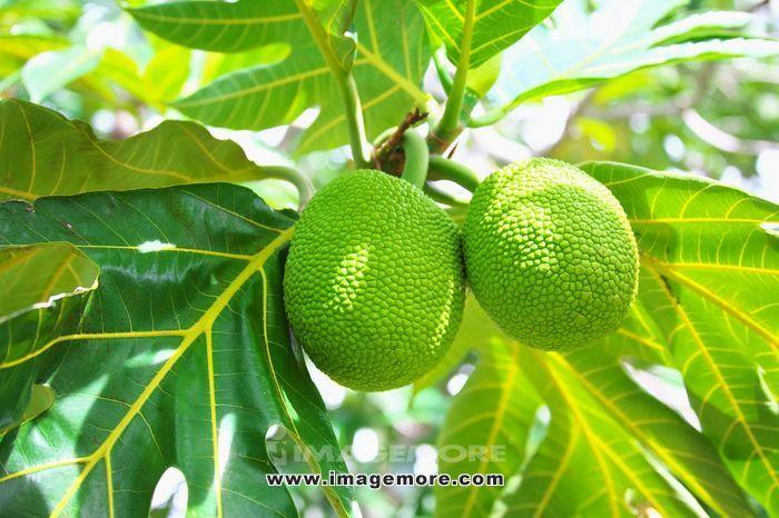 Breadfruit,