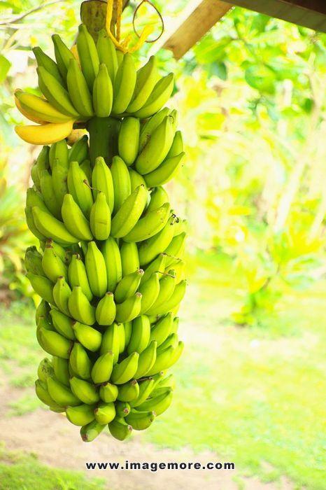 Banana tree,