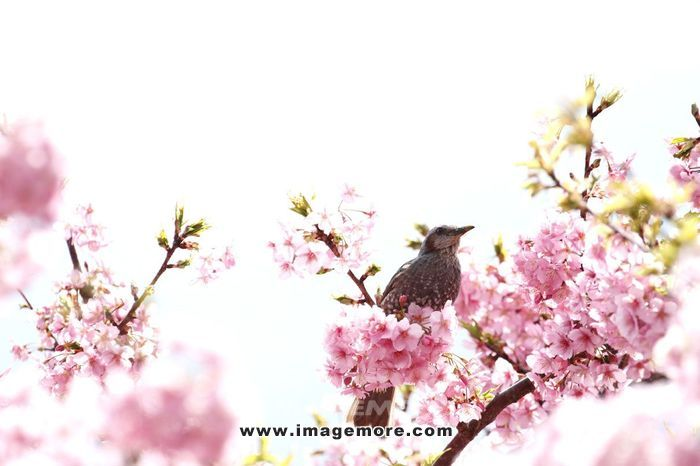 Bird and cherry blossoms,