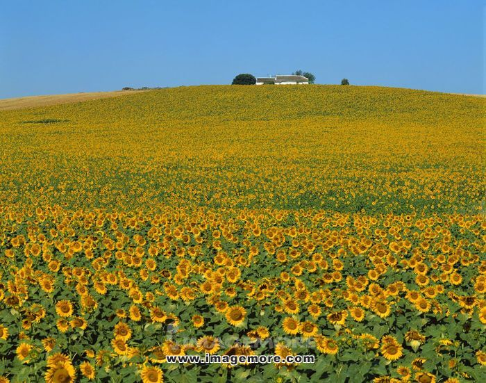 Sunflower field,