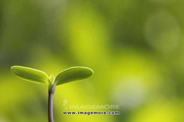 Sprouting leaves,