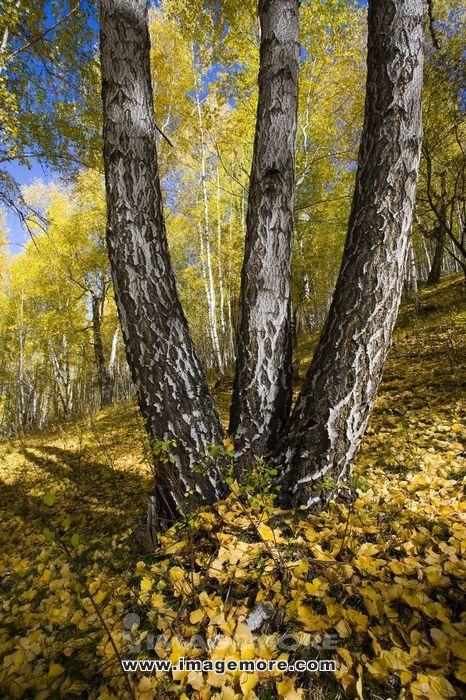 新疆自治区,阿尔泰,禾木,