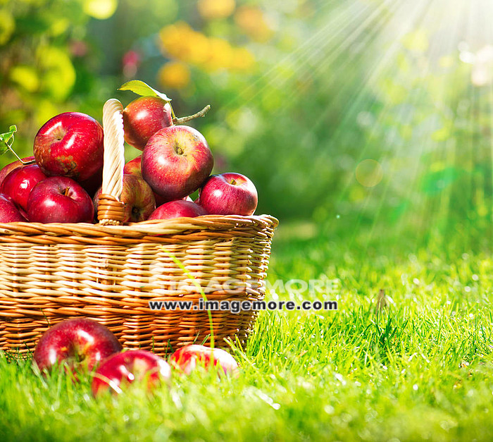 Organic Apples in the Basket. Orchard. Garden,