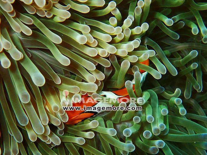 Nemo fishes with sea anemone under the sea, clownfish,