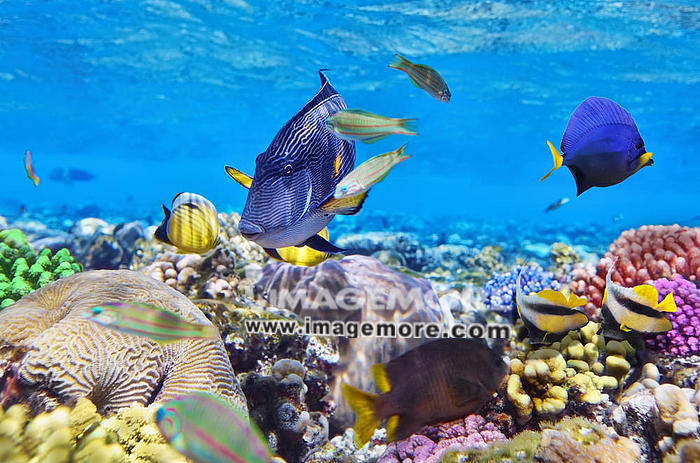 Coral and fish in the Red Sea.Egypt,