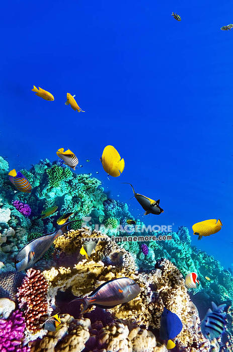 Coral and fish in the Red Sea. Egypt, Africa,