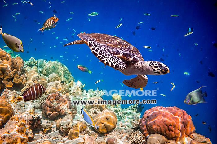 Turtle - Eretmochelys imbricata floats under water. Maldives Indian Ocean.,