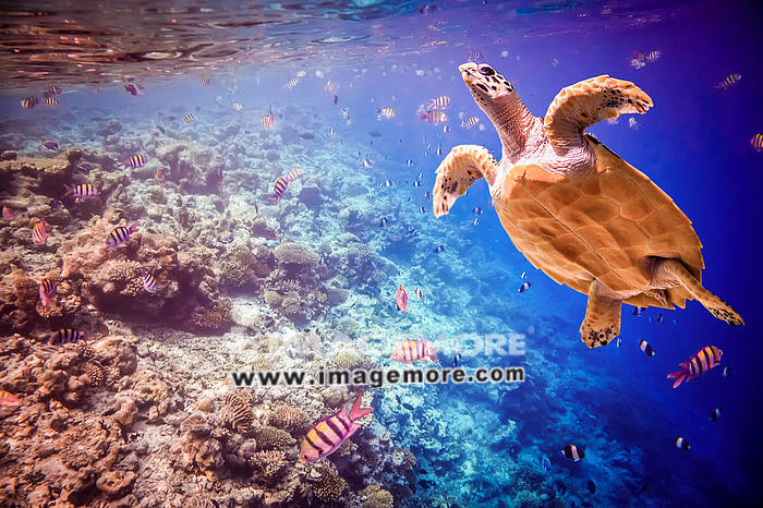 Hawksbill Turtle - Eretmochelys imbricata floats under water. Maldives - Ocean coral reef. Warning - authentic shooting underwater in challenging conditions. A