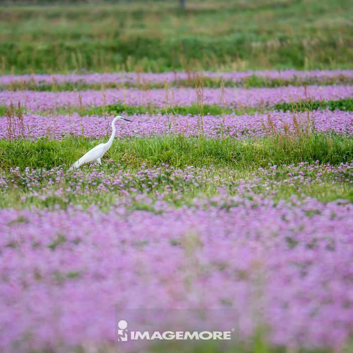 Chinese milk vetch and egret,