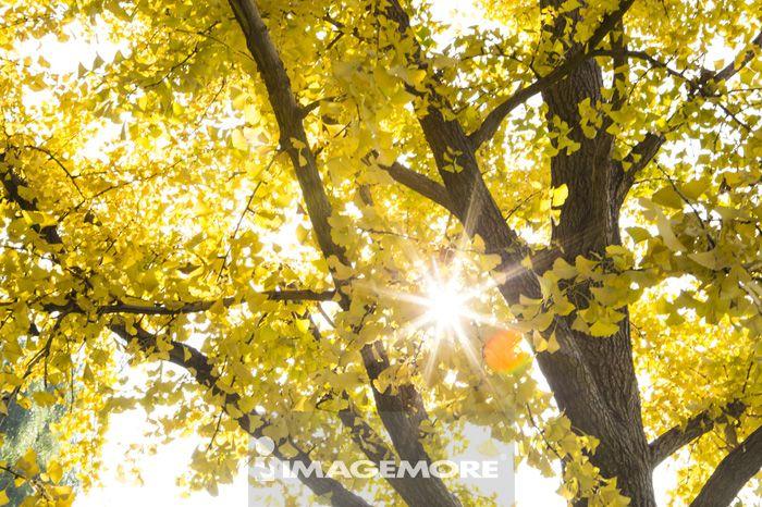 风景 森林 银杏 银杏树