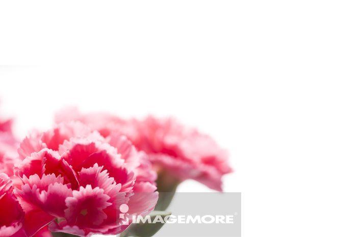 母亲节,康乃馨