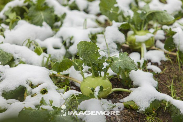 蔬菜,大头菜,雪,冬天,