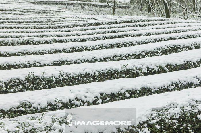 茶园,雪,冬天,