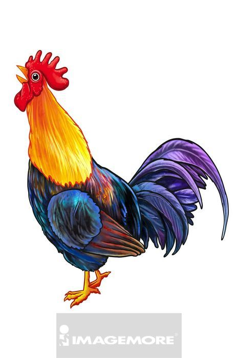 公鸡,生肖,动物,