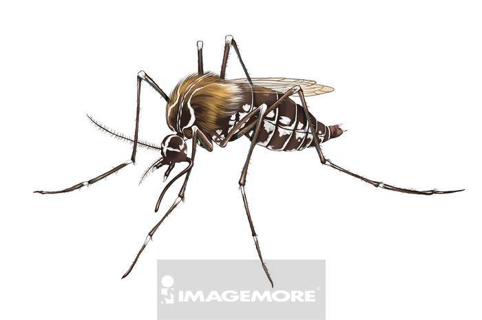 埃及斑蚊,蚊子,